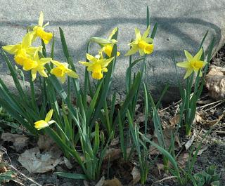 441da-daffodils