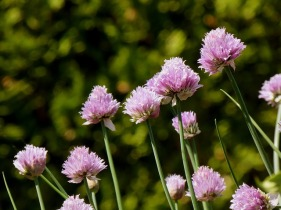 chives-3418953_640