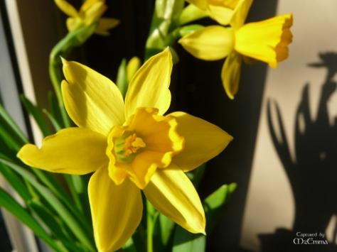 daffodils_EM