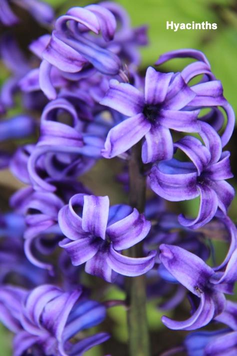 hyacinths_EM