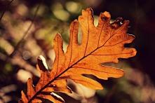 acorn-leaf-3704584_640