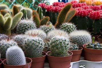 mini-cactus-755542_640