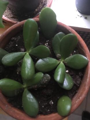 judys jade plant