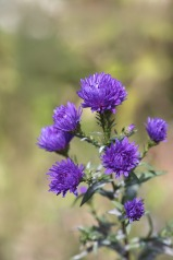 asters-1745902_960_720