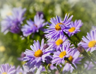 asters-3733508_1280
