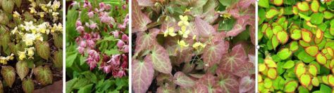 epimedium collage