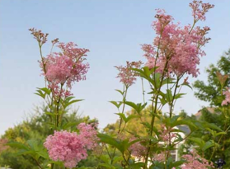 Filipendula-rubra-Venusta-Queen-Of-The-Prairie-flowers2
