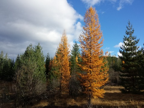 tamarack-trees-208125_960_720