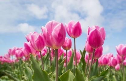 thumbnail_tulips