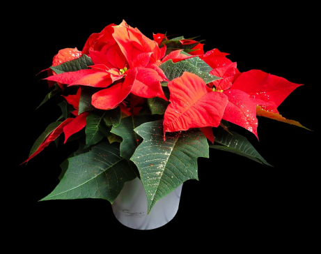 poinsettia1