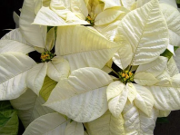 poinsettia3