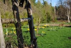 Apple tree guild in spring