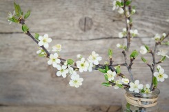 cherry-blossoms-1389792_1920