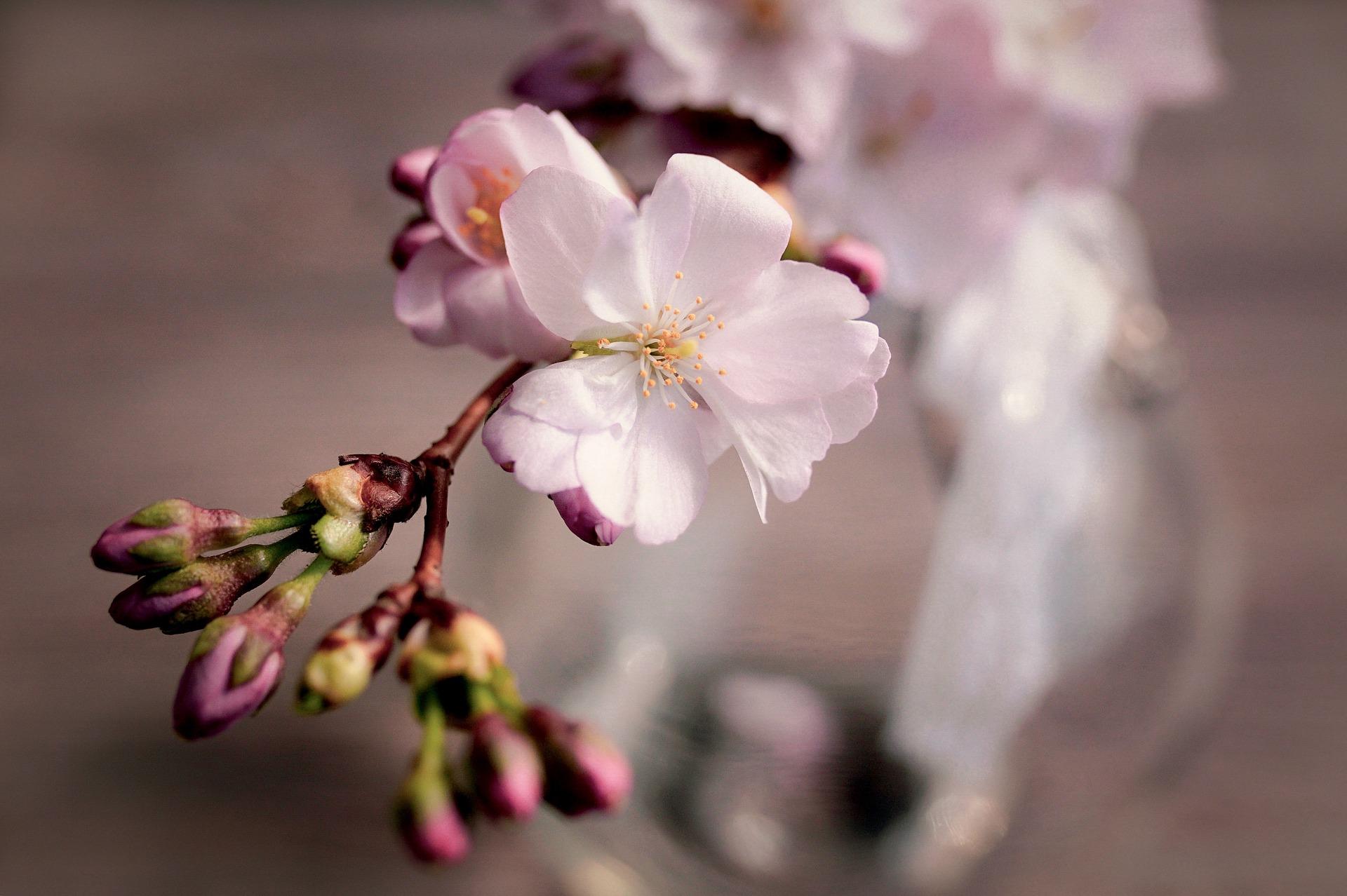 cherry-blossoms-4066631_1920