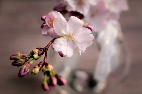 cherry-blossoms-4066631_1920