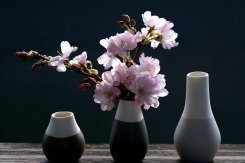 cherry-blossoms-4069596_1920