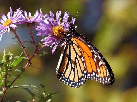 butterfly-17057_640