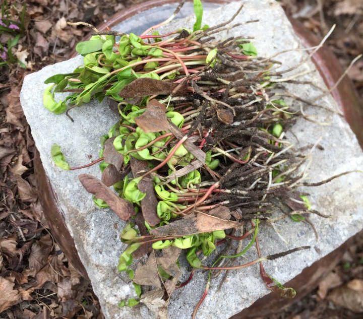 pile of maple seedlings