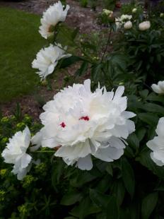 Herbaceous peony - author's garden