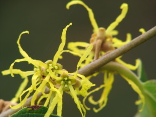 thumbnail_Witch hazel blossoms_3302 2
